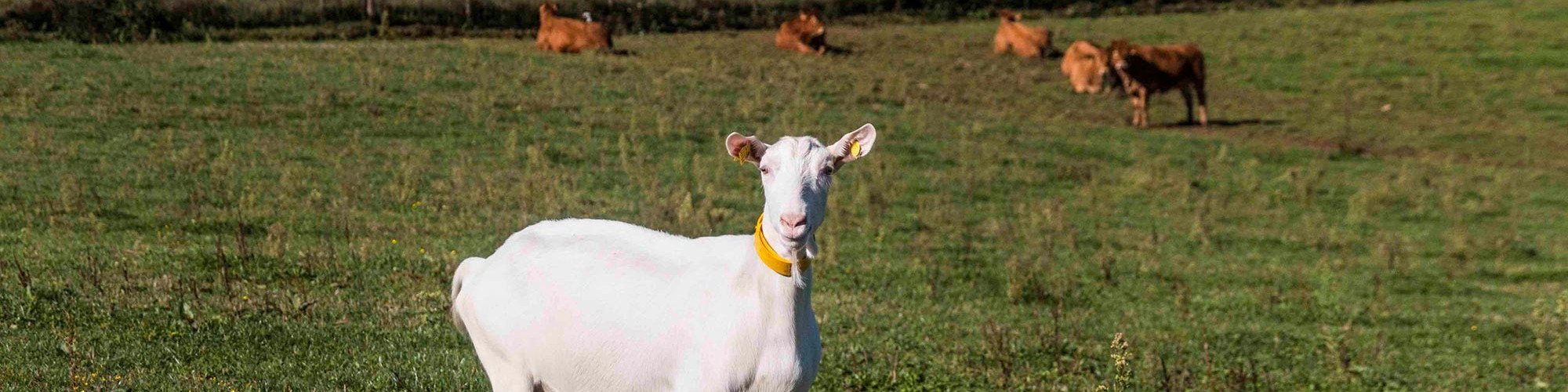 image-product-cows-goat-2000x500